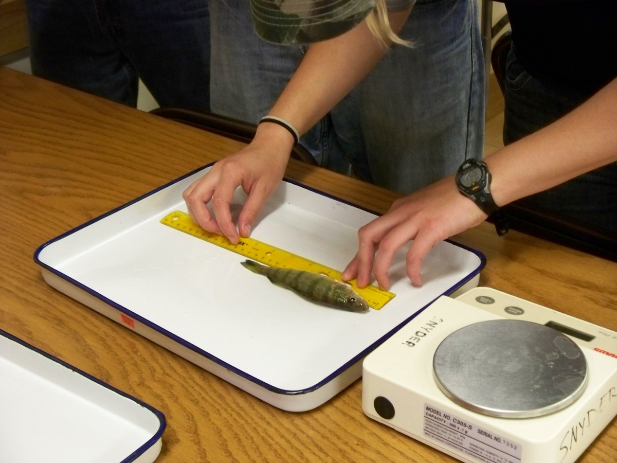 A person uses a ruler to measure a narrow green fish on a white ceramic pan. A scale sits next to the pan.