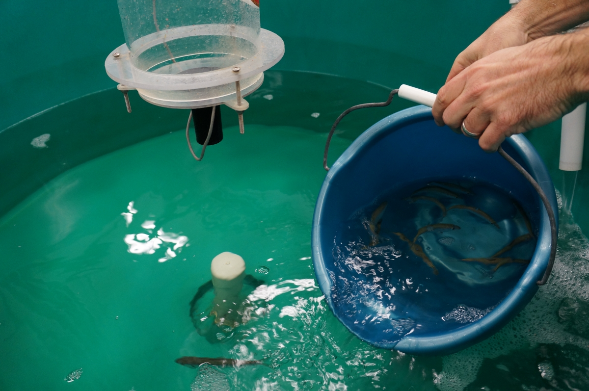 A person pours a bucket of fish in water into a large round tank of water.