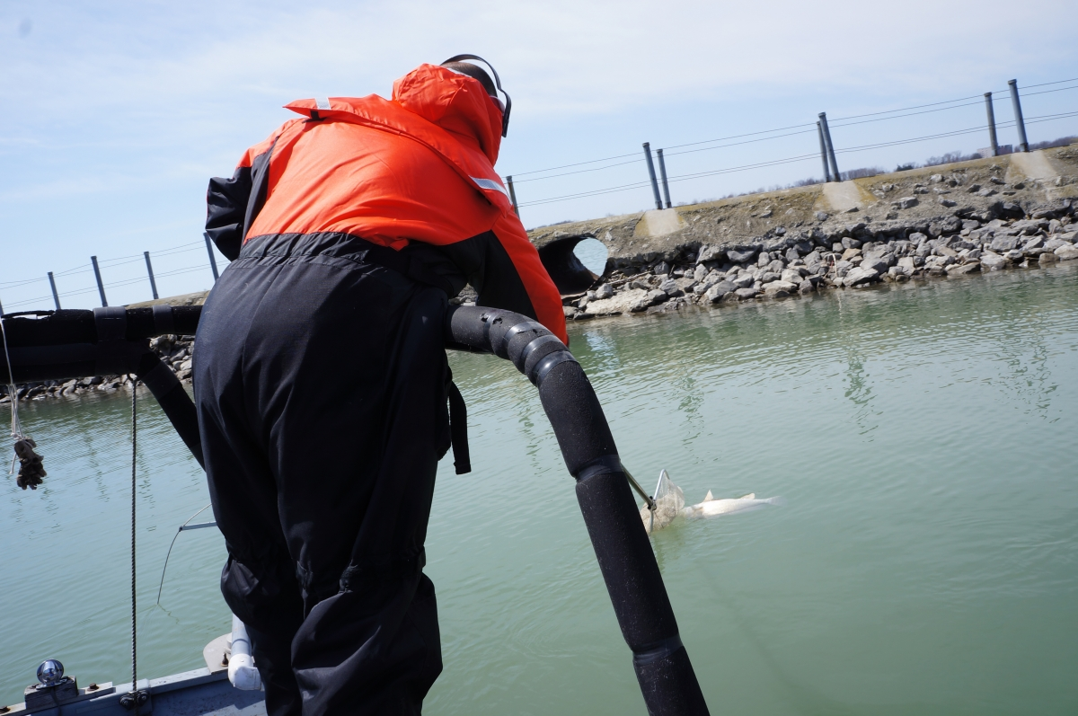 A person in an flotation suit leans over the railing of a boat to scoop up a stunned fish with a net