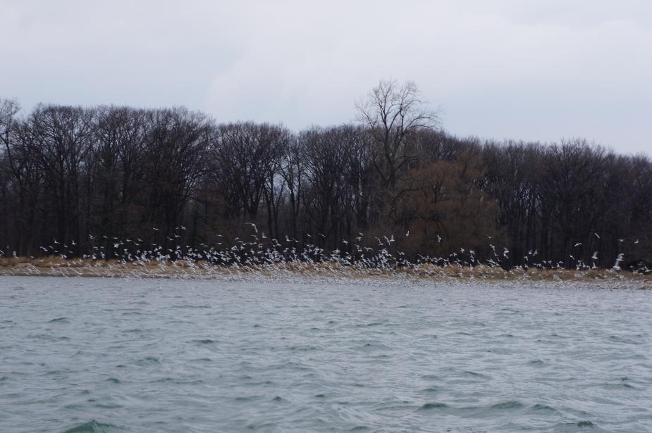 A large flock of white birds flies near the shore of a body of water, with barren trees behind them.
