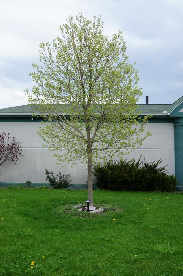 A young tree with leaves just emerging, in front of a one-story building.