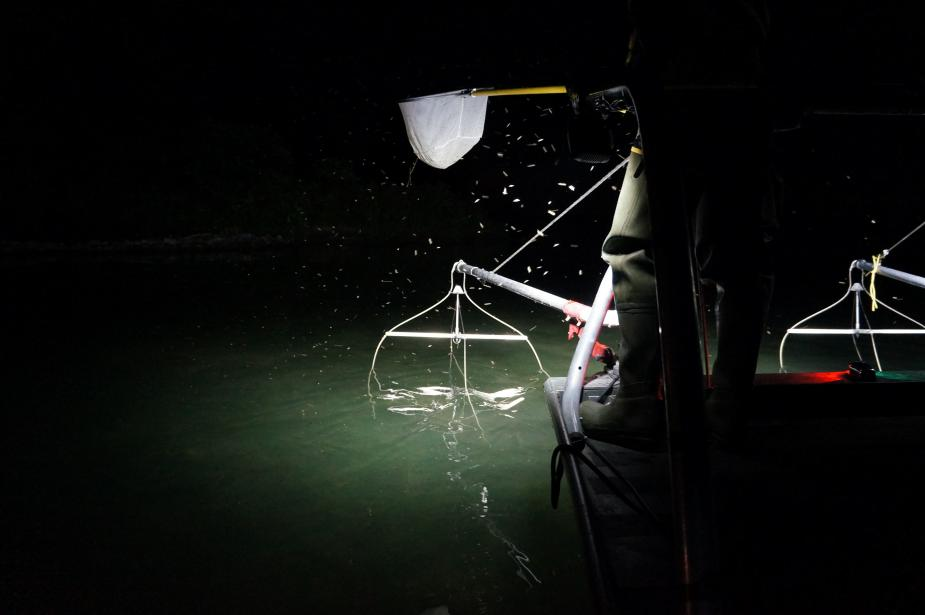 A picture of the edge of a boat at night. A spotlight shines on a metal device hanging in the water, and a person is standing at the edge of a boat holding a net. Bugs are attracted to the spotlight.