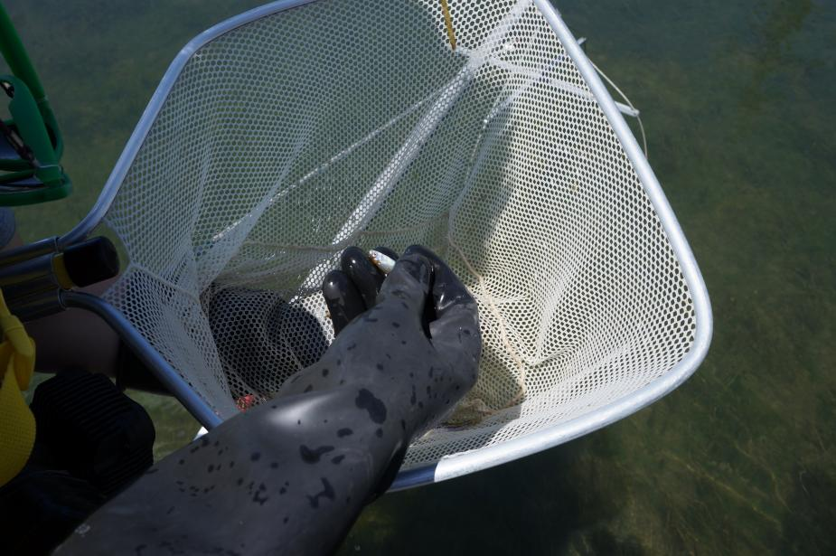 A black gloved hand holds a small fish over a net.
