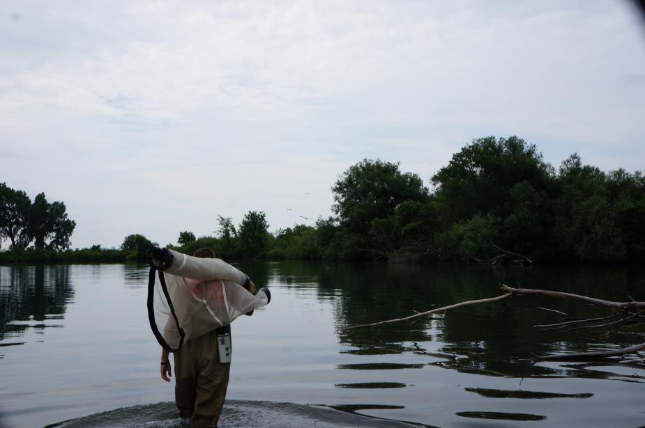 a person wearing chest waders walks through shallow water carrying a large rolled up net over their shoulder.