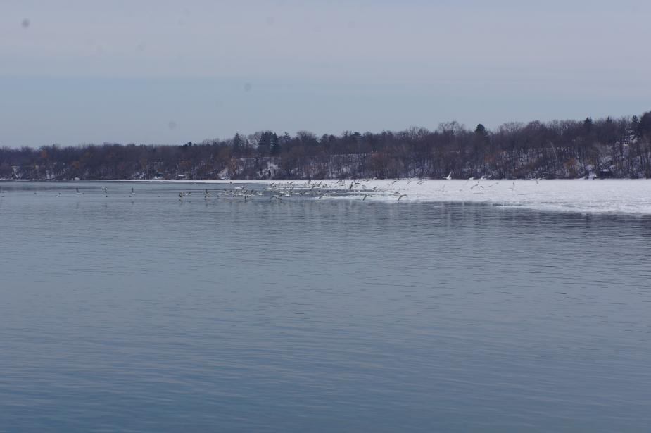 flock of gulls flies over the icy river
