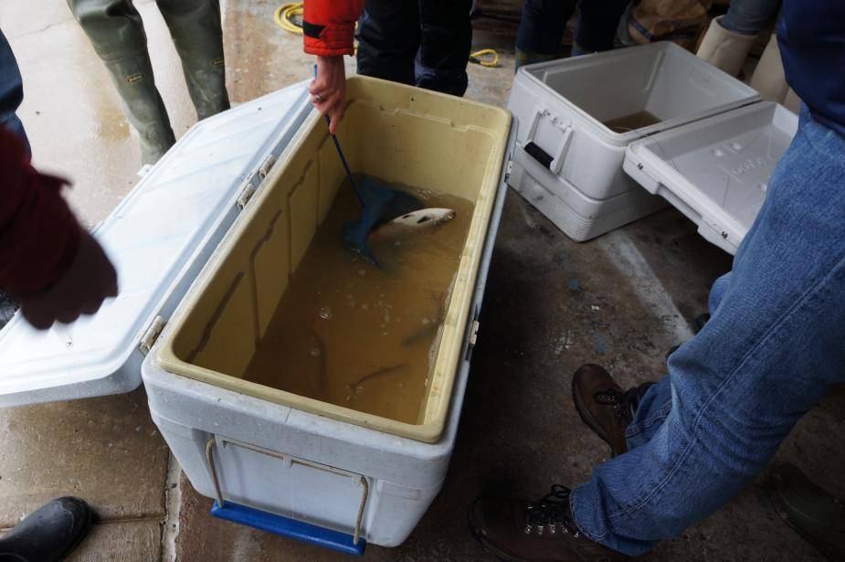 Students stand around a white cooler with fish in murky water while someone uses a small dip net to get a closer look at one. A second cooler is off to the right.