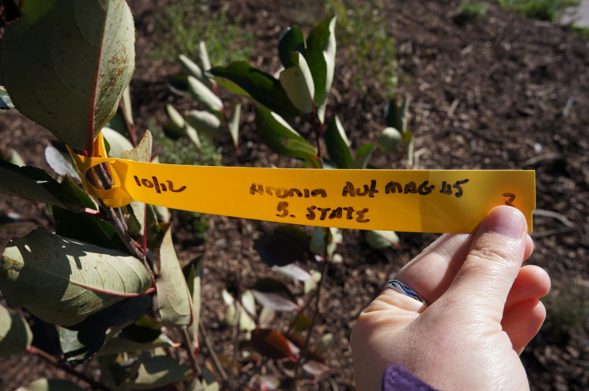 A person holds a tag attached to the branch of a shrub with green leaves with red veins. The handwritten tag says