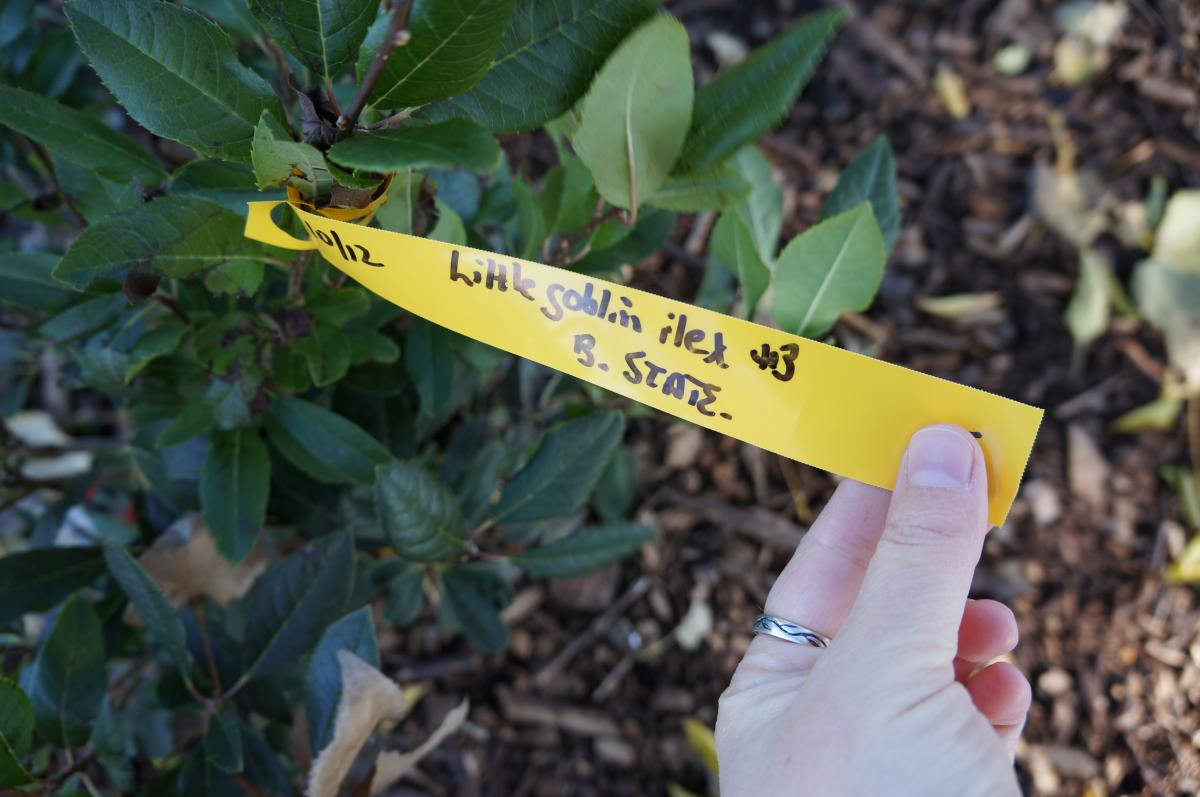 A hand holding a tag attached to a woody plant with glossy leaves that are dark on one side and light on the other. The handwritten tag says