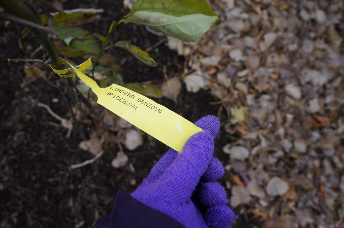 A gloved hand holding a tag from a woody plant. The handwritten tag says