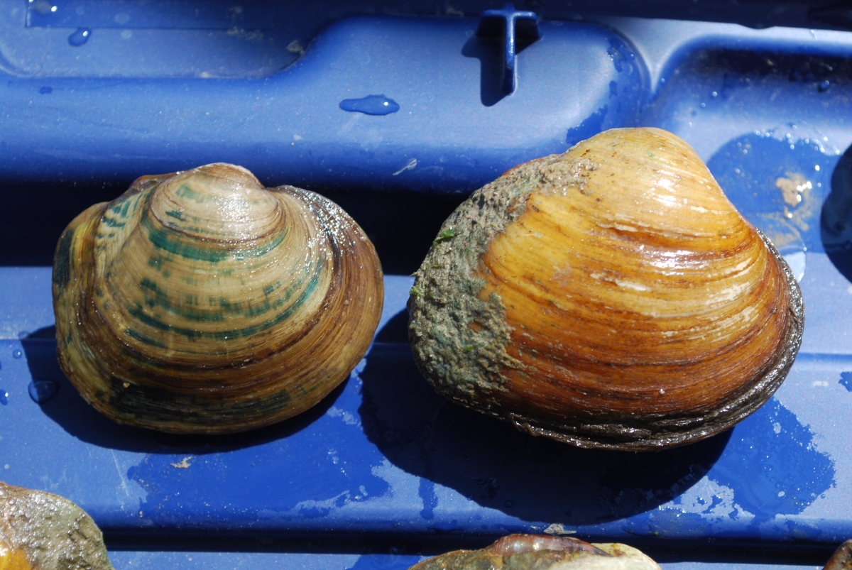 Two round mussels that are similar but different types.