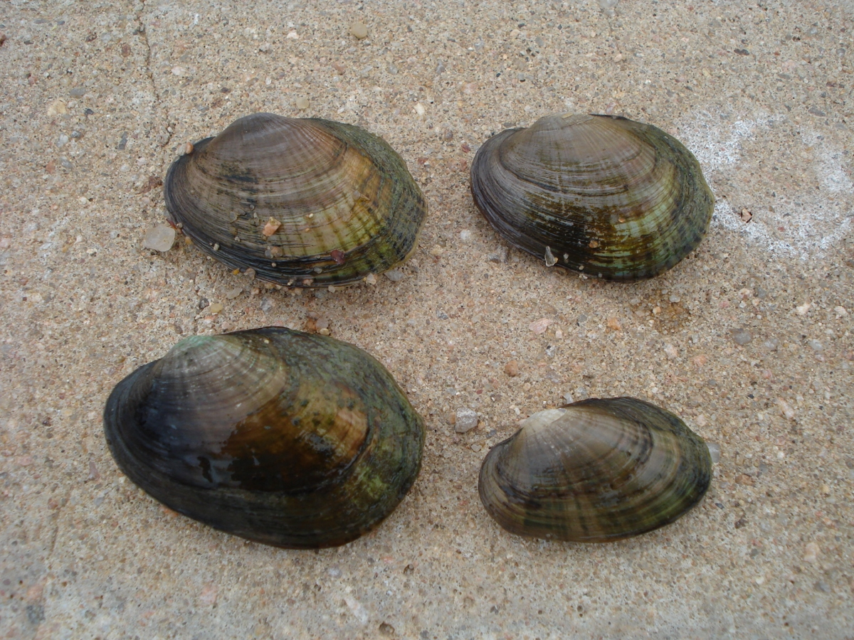 Four oblong mussels on the sand.