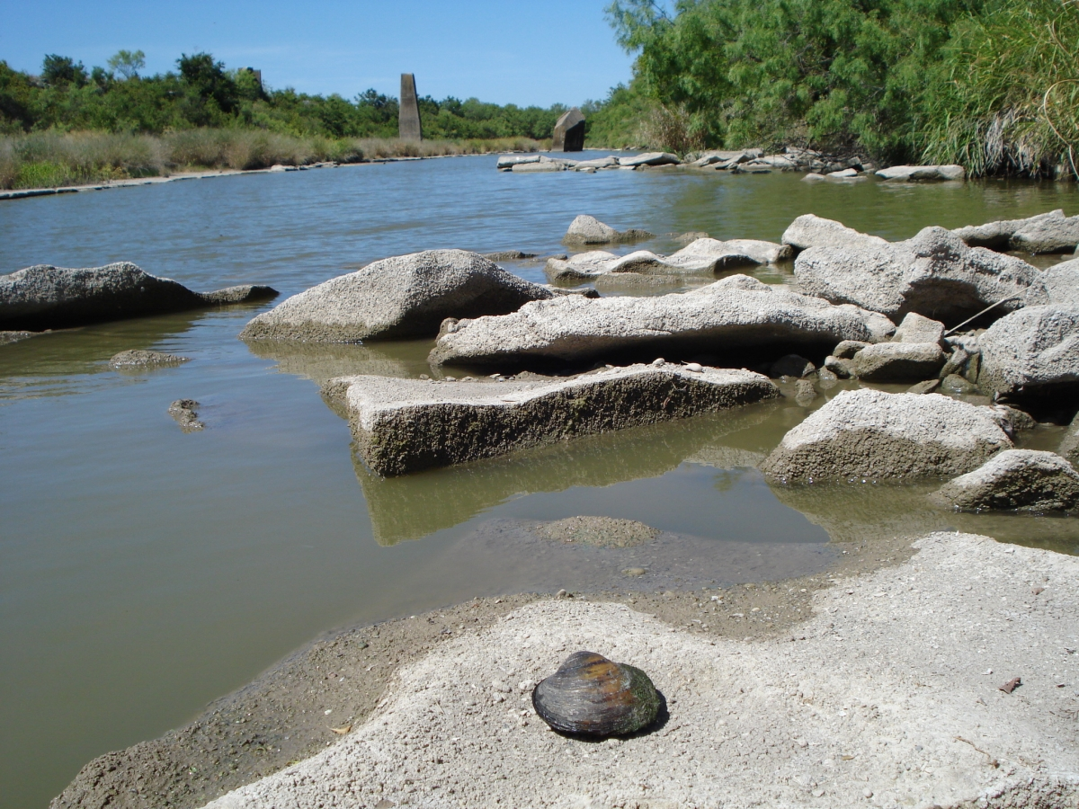 A large round mussel on a rock by a river