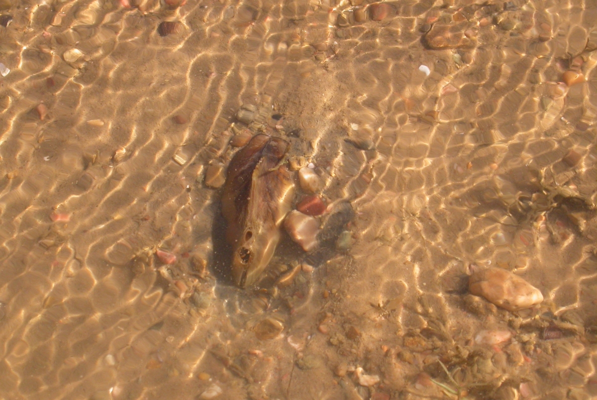 A large mussel in shallow water. Its siphons are visible.
