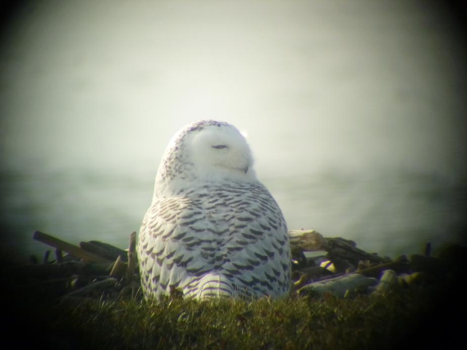 A snowy owl sitting on the ground by the water. The picture is taken from behind it and its head is turned to the side. Its eyes are partially closed.