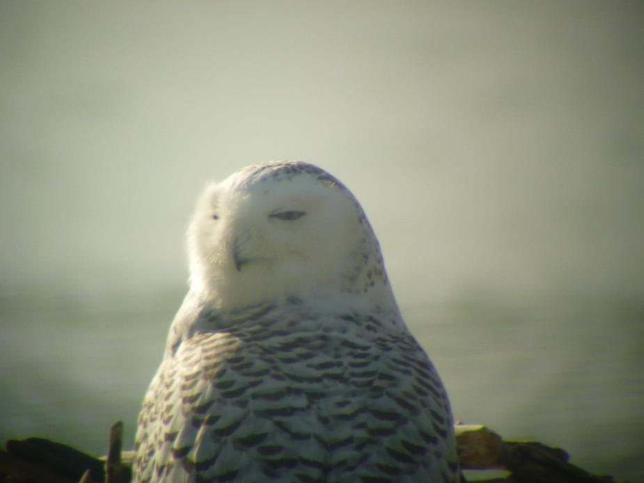 A snowy owl sitting on the ground by the water. The picture is taken from behind it and its head is turned over its shoulder. Its eyes are partially closed.