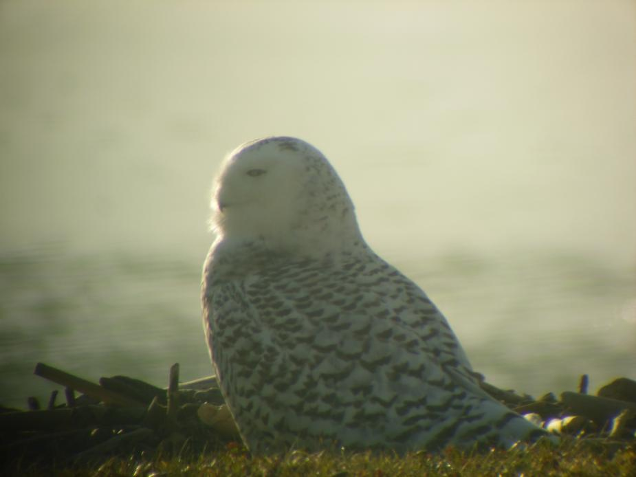 A snowy owl sitting on the ground by the water. It is looking off to the side and is in profile.