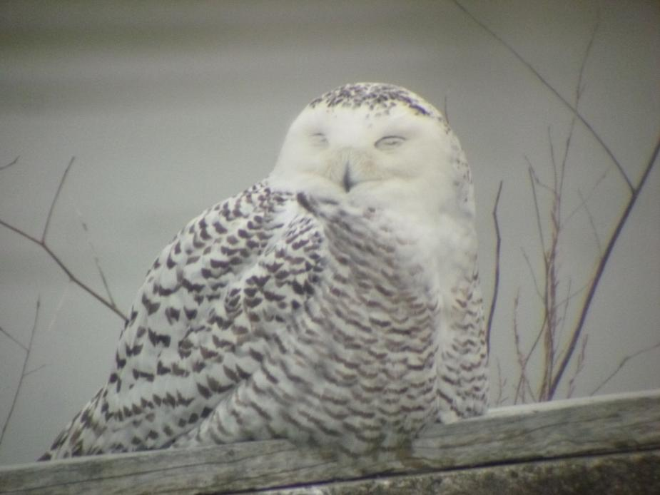 A snowy owl sitting on a log in front of the water. Its eyes are closed.