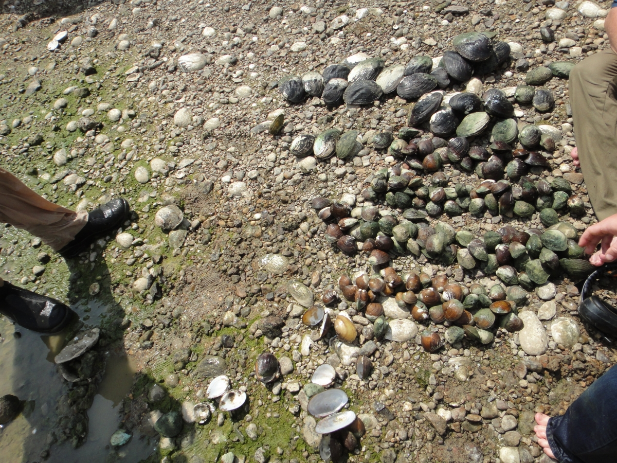 Many mussels gathered on the ground