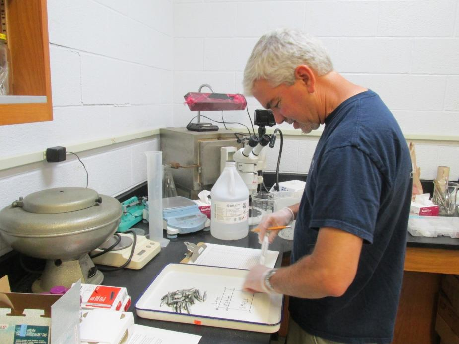 A person standing at a counter in a lab. There are some small silver fish on a tray in front of them.