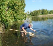 A person wading in the water and leaning over to pull some weeds out of a net with a long pole held in their other hand.