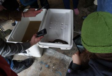 Students take a picture of a mudpuppy (salamander) that was caught in the trap net. The mudpuppy sits on the open white lid of a cooler that has murky brown water inside.