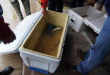 Students stand around a white cooler with fish collected during electrofishing. Dr. Pérez uses a small blue net to catch a gizzard shad (fish) for closer examination. A few other fish are visible in the murky water in the cooler.