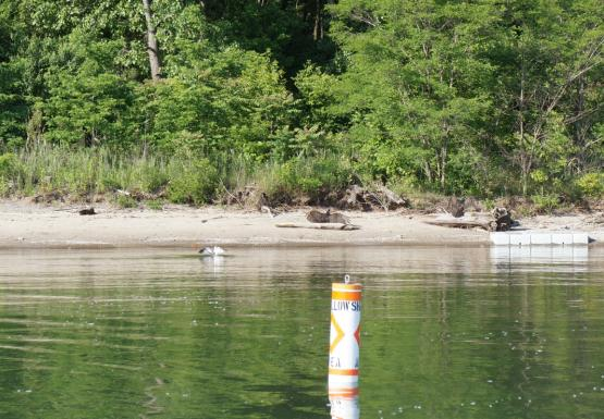 "A few large black birds sit on the sand by the edge of the water, while a smaller white bird alights on the water. There is a buoy that says ""Slow No Wake."" Two of the large black birds have their wings spread."