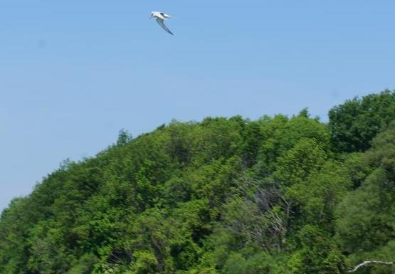 A white bird flies over the water near some trees.