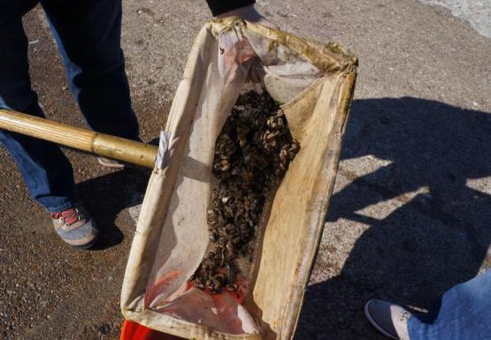 A net full of inch long mussels.