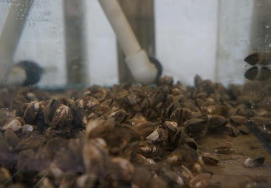 Inch long mussels in water in a tank.