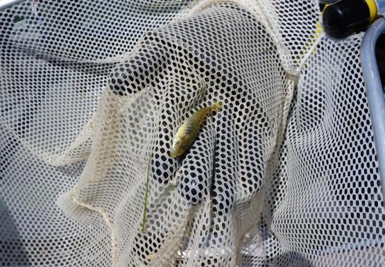 a small striped fish in a net