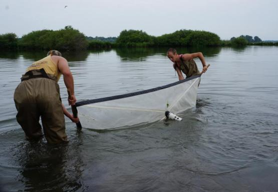 Two people wearing chest waders stand in water and hold opposite ends of an 8 foot long net that they strain through the water