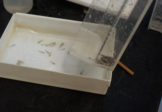 someone pouring water and tiny fish from a clear Plexiglas container into a small white pan