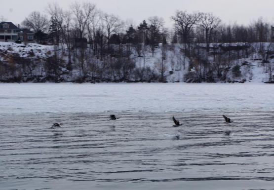 Longtail ducks flying over the icy Niagara River