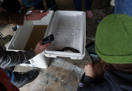 Students take a picture of a large black salamander on the open white lid of a cooler that has murky brown water inside.