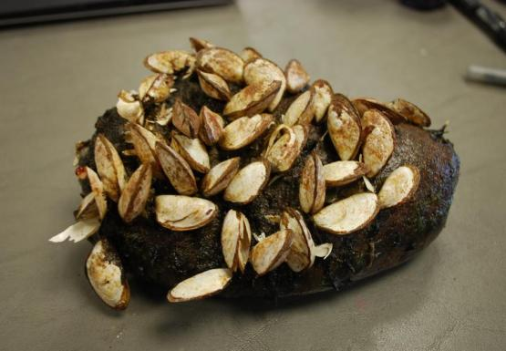A rock covered in mussels on a table.