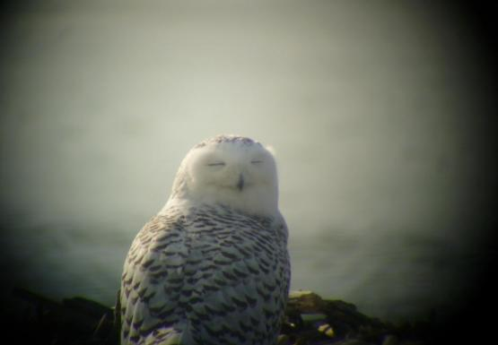 A snowy owl sitting on the ground by the water. The picture is taken from behind it and its head is turned over its shoulder. Its eyes are closed.