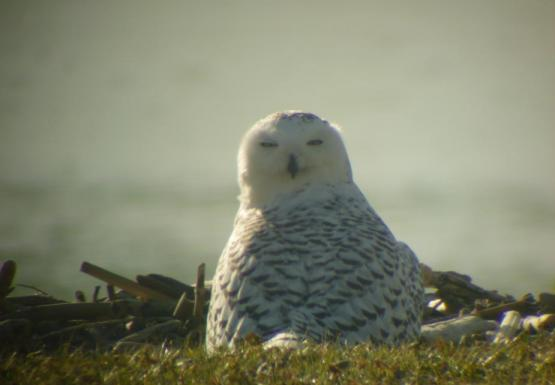 A snowy owl sitting on the ground by the water. The picture is taken from behind it and its head is turned 180 degrees so it's looking straight over its back toward the camera.