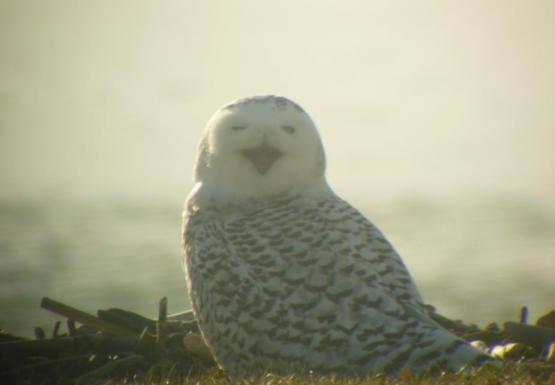 A snowy owl sitting on the ground by the water. The owl is facing the camera and has its beak wide open.