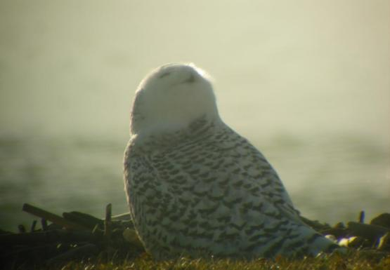 A snowy owl sitting on the ground by the water. The owl is looking up at the sky.