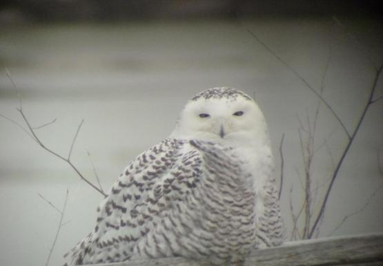 A snowy owl sitting on a log in front of the water.