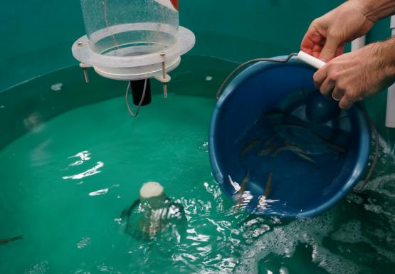 A person pours a bucket of fish in water into a large round tank of water with fish.