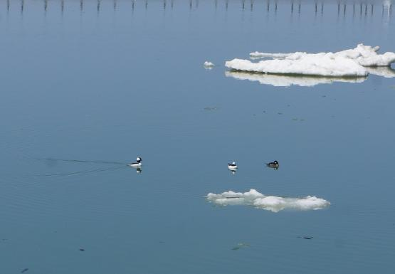Diving Ducks (buffleheads)