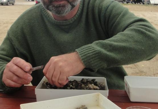A person works at a picnic table with small white trays with small mussels in them