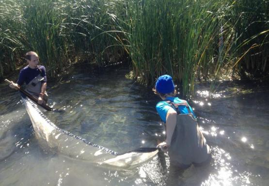 Two people wading in the water, pulling a net between them. There are large reeds behind them.