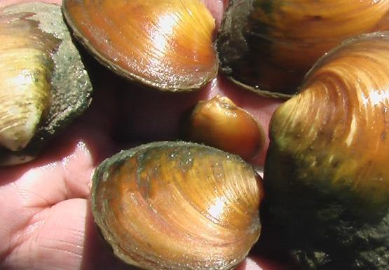 A hand holding five round golden mussels above the water.