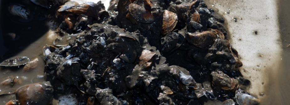 dreissenid mussels in mud