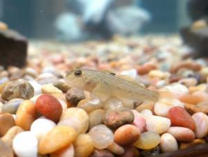 A round goby, a small light colored fish, sitting on the bottom of a fish tank