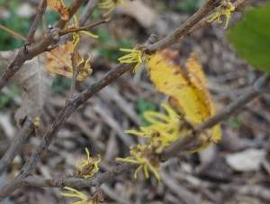 A bush with some flowers with stringy yellow petals. The leaves are mostly gone but there are a few yellow or brown leaves remaining.
