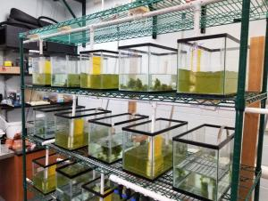 Several tanks sit on a shelving unit in a lab. There is water with algae in the tanks, though some have algae mixed throughout while others are clumped. Some of the tanks have a mechanical paddle for stirring.